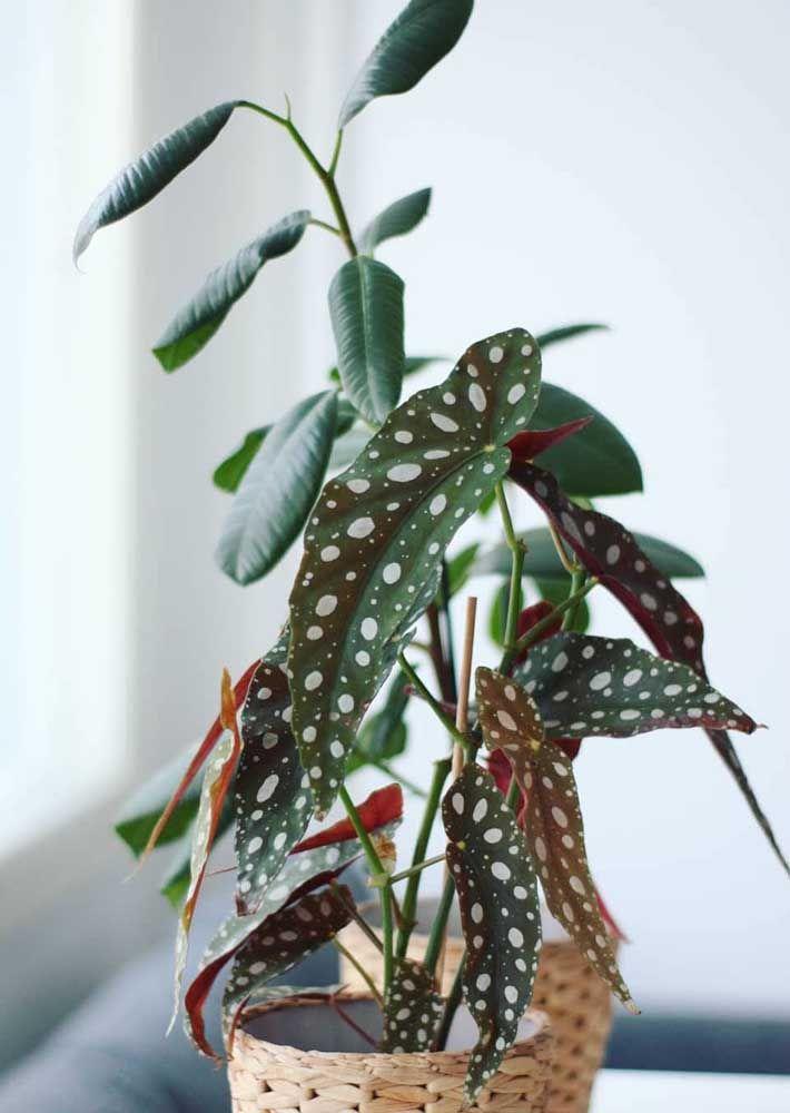 A Begônia Maculata surpreende pelos seus detalhes delicados