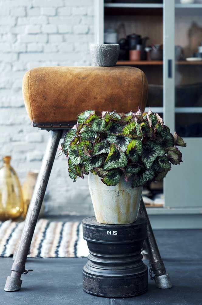 O pequeno vaso de Begônia Rex completa a decoração da sala com sua beleza exótica