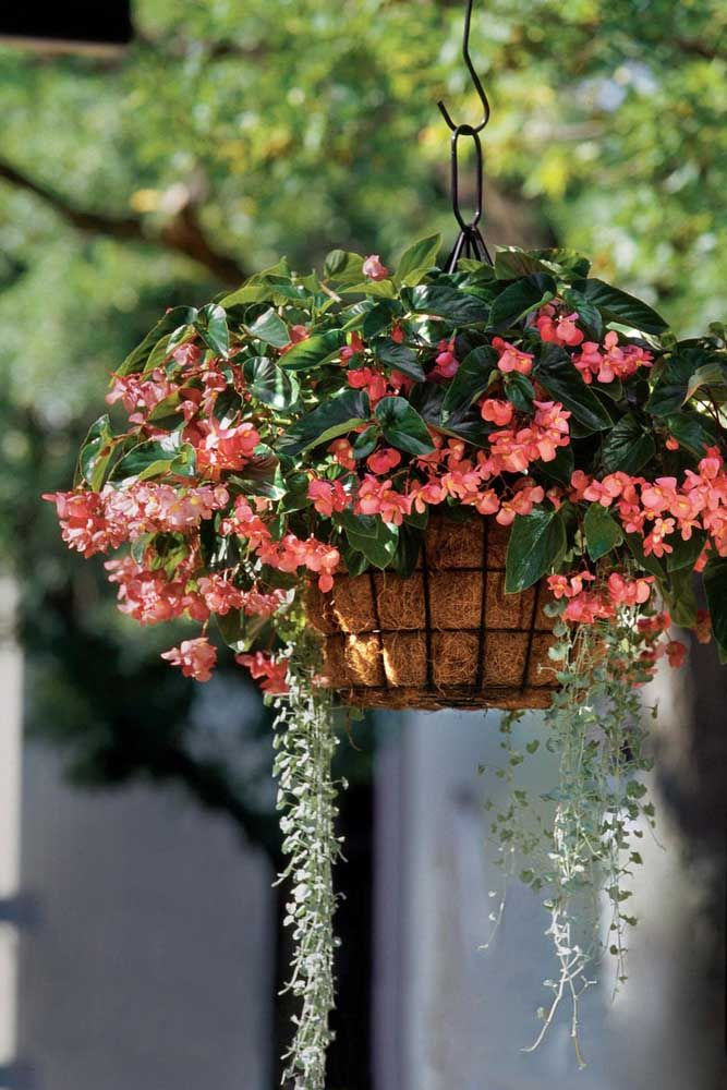 Delicados pingos de luz cor de rosa: é assim que a begônia se apresenta nesse vaso