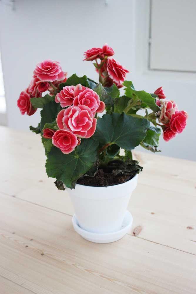 As flores vermelhas dessa begônia são o contraste ideal para o ambiente branco