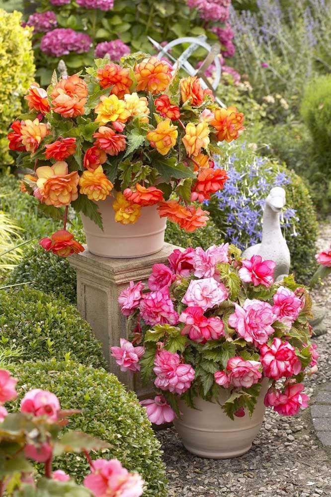 Lindas, floridas e coloridas: aqui, as begônias enchem de alegria o jardim