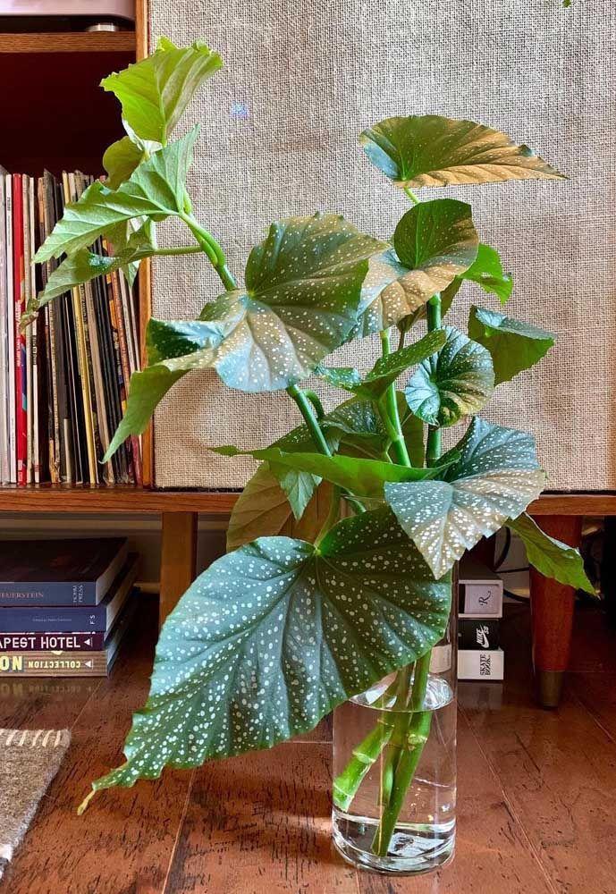 Um vaso com ramos de begônia mergulhados na água; alternativa para quem não pode cultivar a planta em vasos de terra