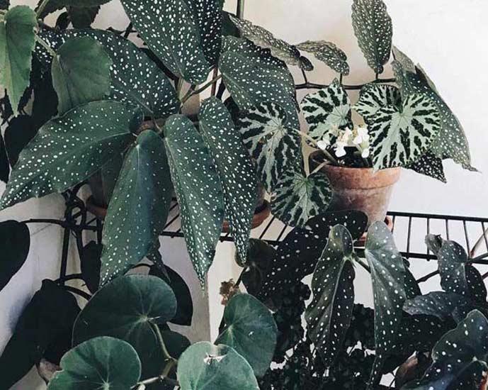 Begônia: veja como cuidar, tipos e ideias de decoração