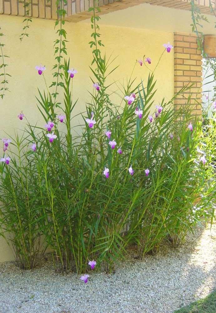 Orquídea Arundina: a espécie resiste muito bem ao sol e pode chegar a medir até 2,5 metros de altura
