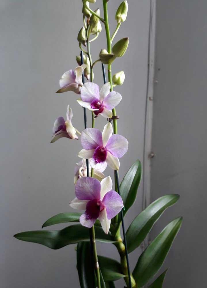 Além da floração exuberante, a Denphal pode florescer em qualquer época do ano e suas flores podem chegar a durar até três meses