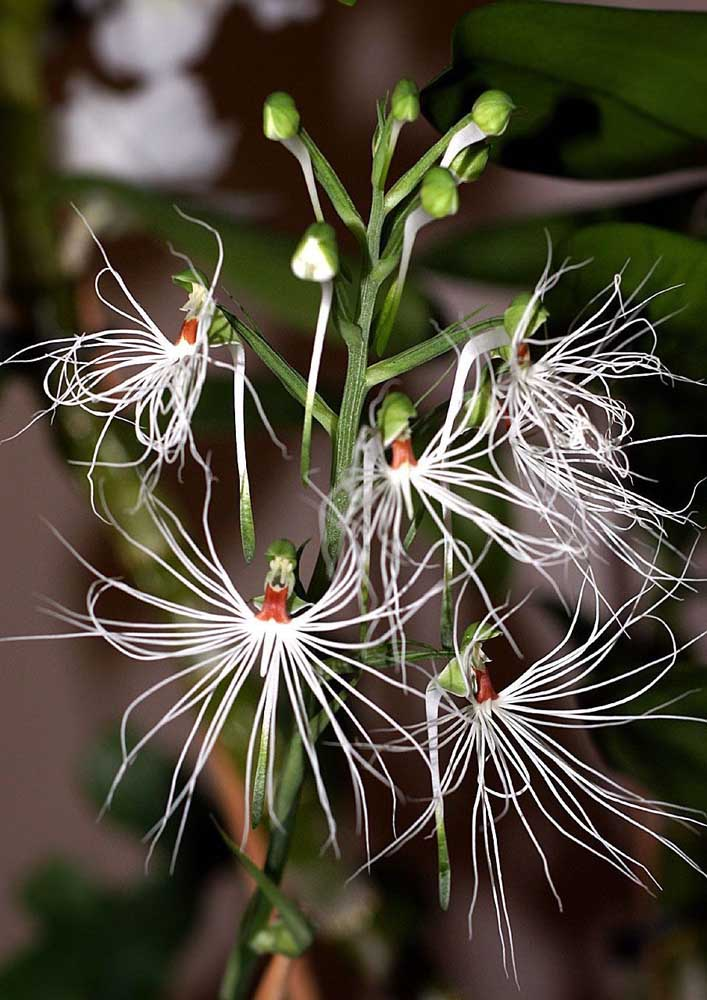 Orquídea Habenaria: exótica e de visual bem diferente das demais orquídeas, a Habenaria se assemelha a uma garça com as asas abertas