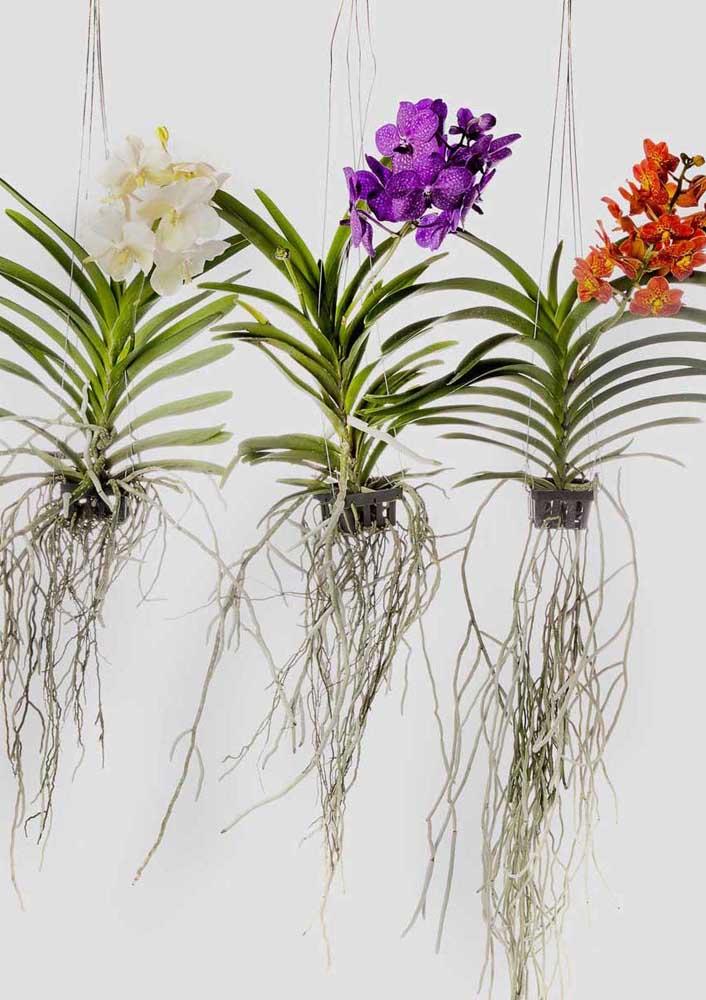 A orquídea Vanda pode ser cultivada de modo suspenso com as raízes livres, ficando com um visual ainda mais interessante