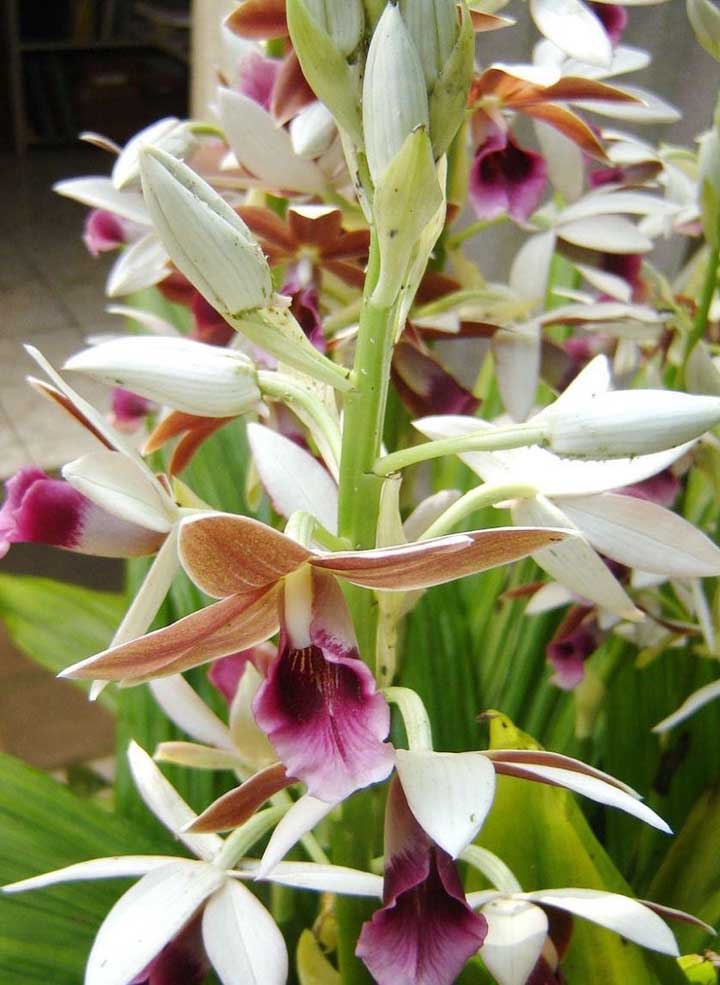 Orquídea Capuz de Freira: essa espécie de orquídea é encontrada na natureza em locais de altitude elevada, próximo aos 1300 metros. Natural da Ásia, a Capuz de Freira pode ser cultivada tanto na terra, quanto em vasos