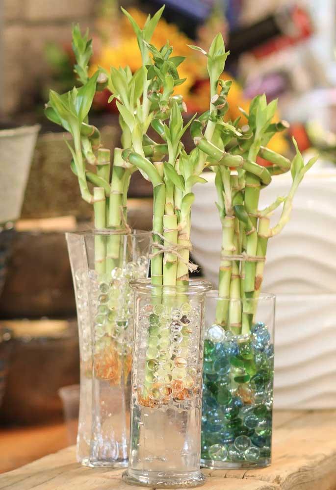 Além de poder ser cultivado em água, o Bambu da sorte não exige grandes cuidados