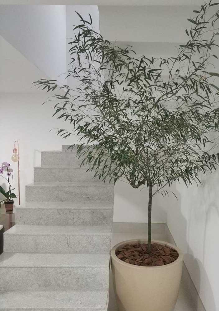 O Bambu Mosso pode ser cultivado em vasos e alcança grandes alturas
