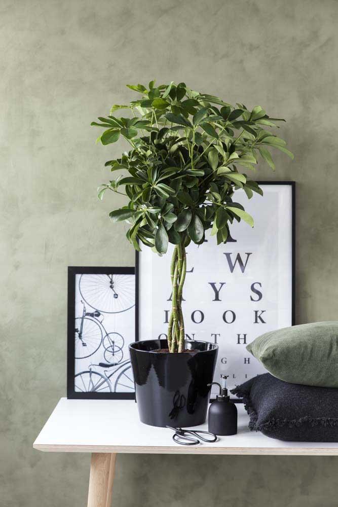 O verde intenso da Cheflera é ideal para compor a decoração da casa