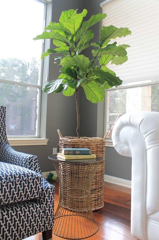 As lindas folhas da Ciclanto precisam ficar próximas às janelas para receber luz do sol