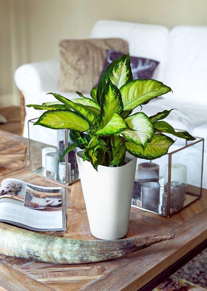 A famosa Comigo ninguém pode é perfeita para vasos pequenos em mesas laterais ou de centro