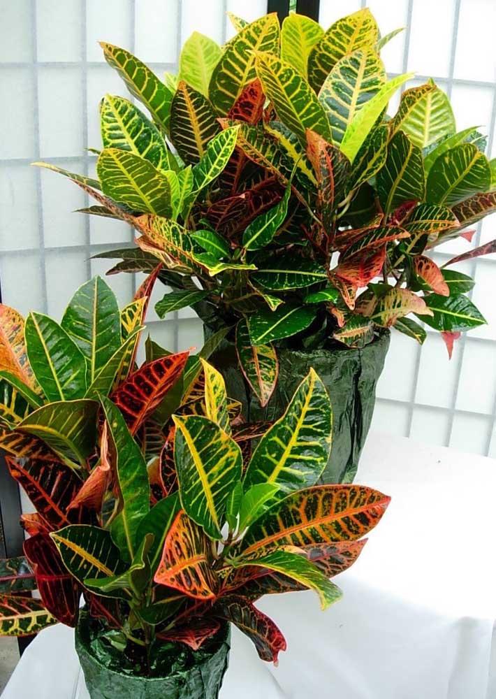 Por serem belas e coloridas, as Crotons ficam ótimas em ambientes mais neutros