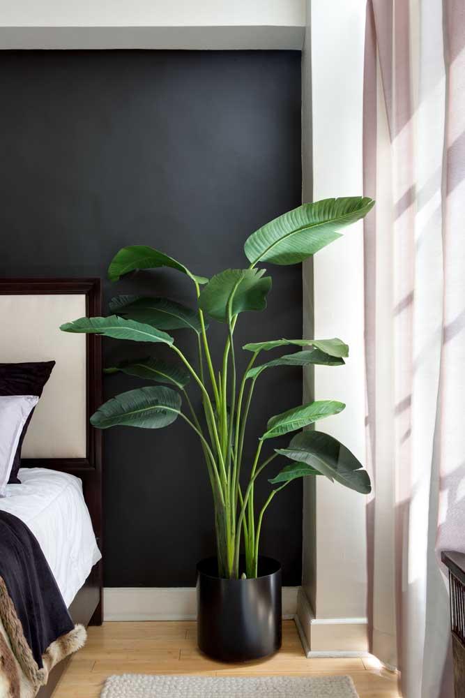A Pacová é linda e possui folhas grandes que marcam presença