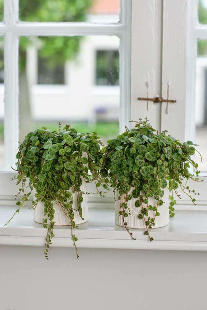 A Peperômia pode ser cultivada em pequenos vasos