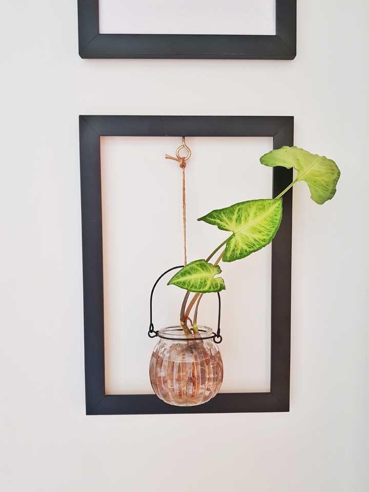 Podendo ser cultivada em água, a Singonio é uma ótima opção para vasos solitários