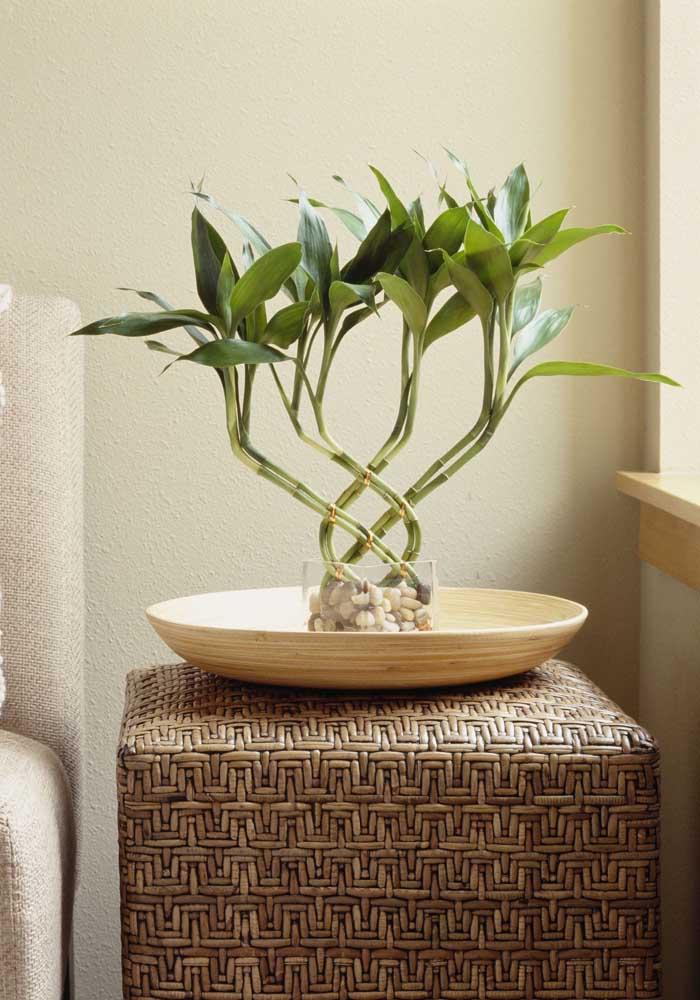 Bambus da sorte são muito decorativos e ficam ótimos em ambientes internos