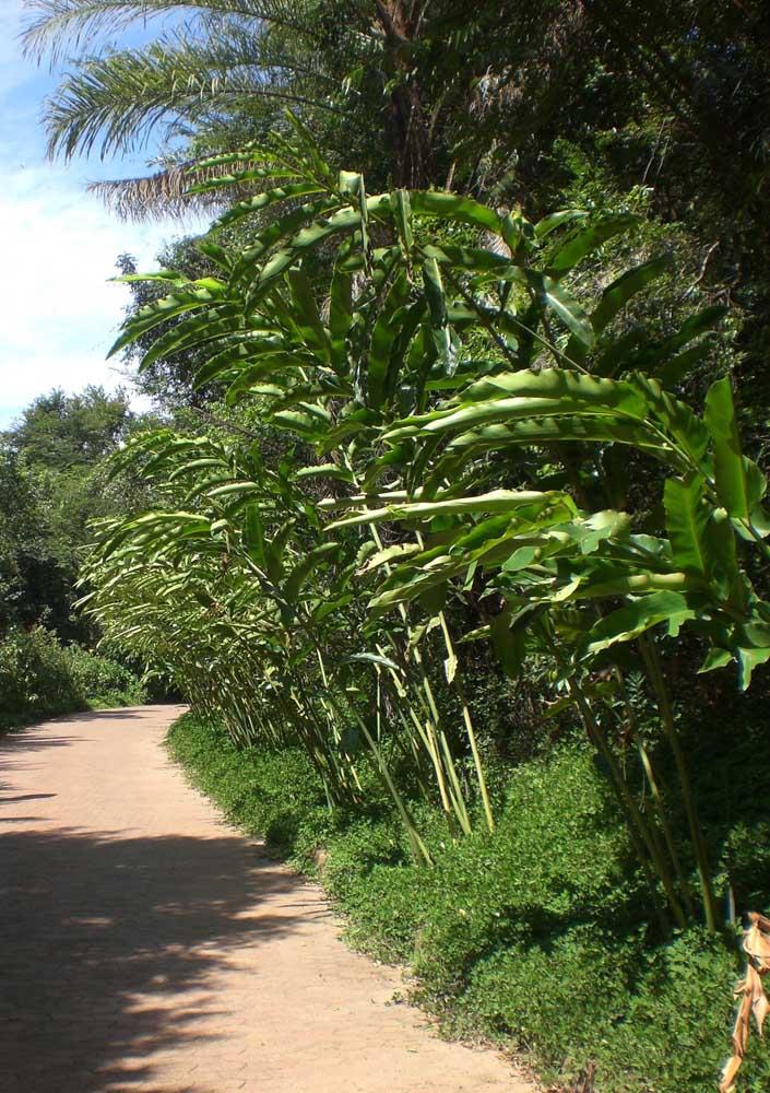 A grama amendoim foi usada aqui como forração na beira da pequena estrada