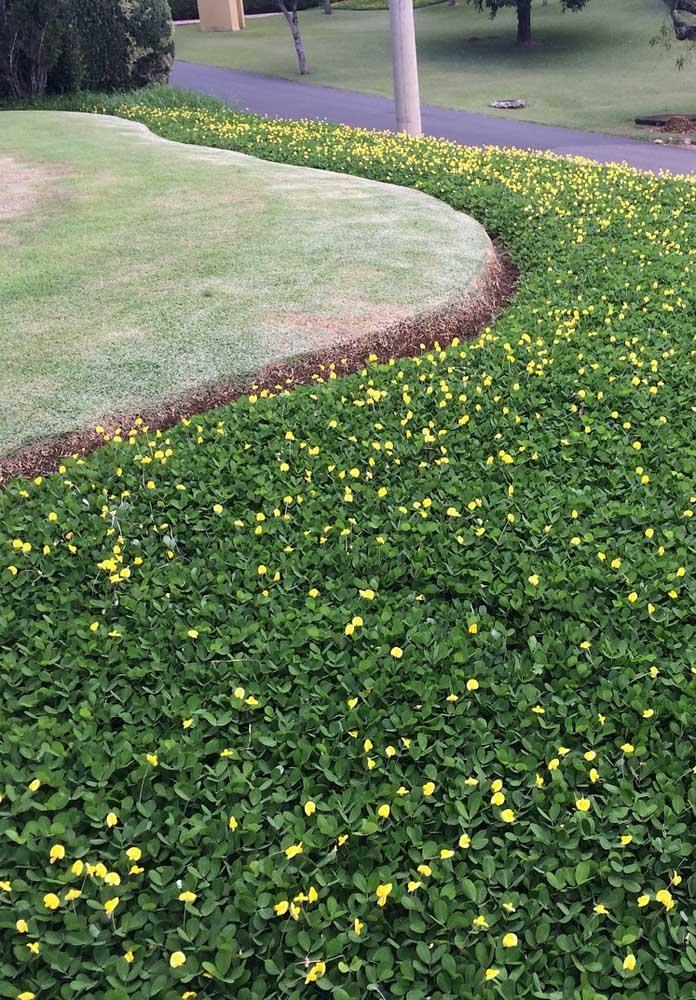 A delicadeza das pequeninas flores amarelas da grama amendoim; um toque a mais na forração do jardim