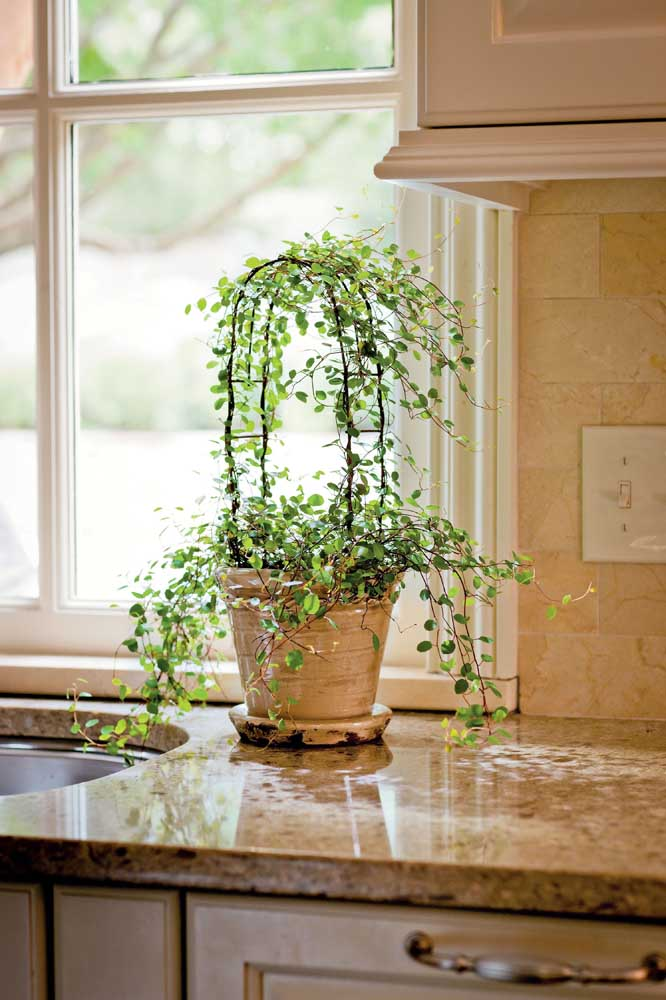Unha de gato plantada no vaso para um delicado efeito na decoração da cozinha