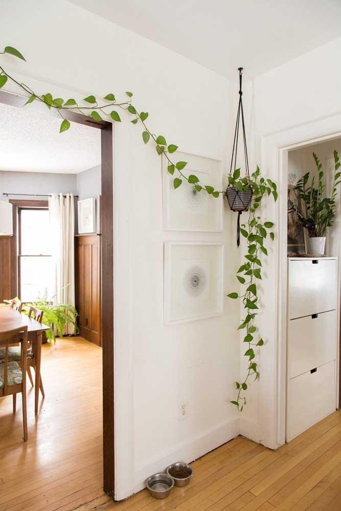 Dentro de casa, a jiboia é uma ótima opção de trepadeira; lembre-se de conduzir seu crescimento