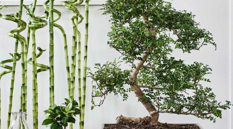Bonsai: o que é, como cuidar e 60 fotos inspiradoras