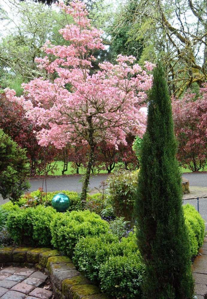 Cerejeira no jardim; ótima opção para embelezar o projeto paisagístico