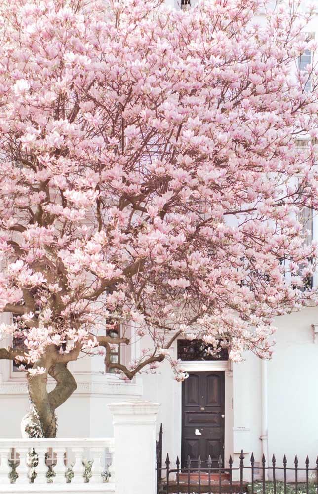 Aqui, a cerejeira cobre toda a fachada da casa e isso não é problema nenhum