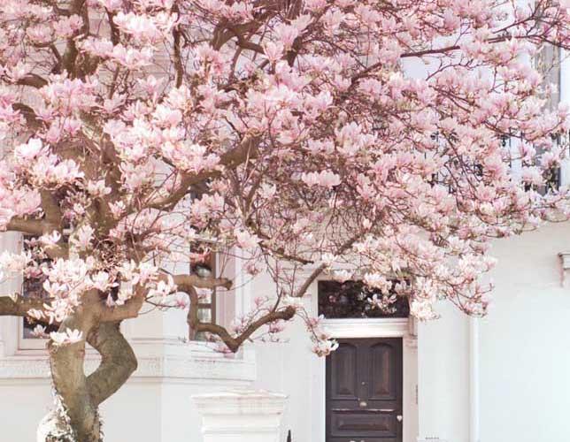 Flor de cerejeira: lendas, significado e fotos de decoração