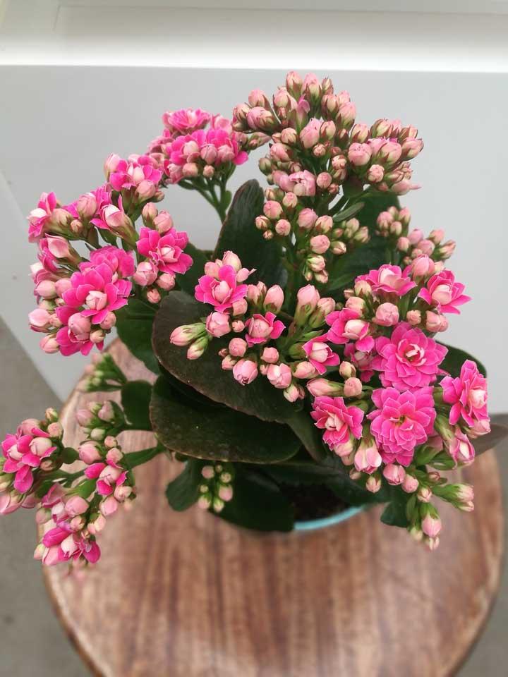 Para que a floração da kalanchoe seja abundante use adubo de fórmula NPK com maior concentração de fósforo