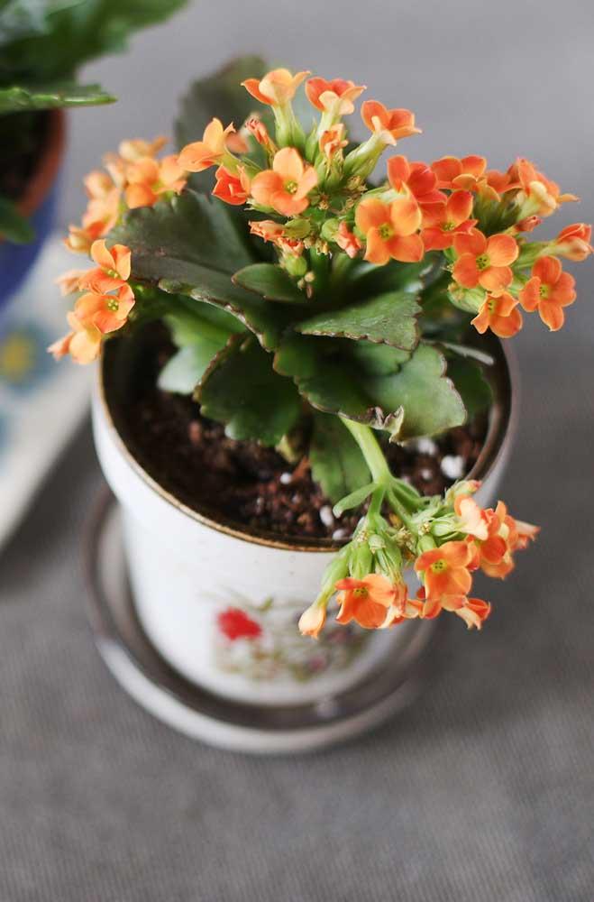 Na hora de comprar a sua kalanchoe escolha aquela que tiver o maior número de botões, um indicativo de que sua planta permanecerá florida por um longo tempo