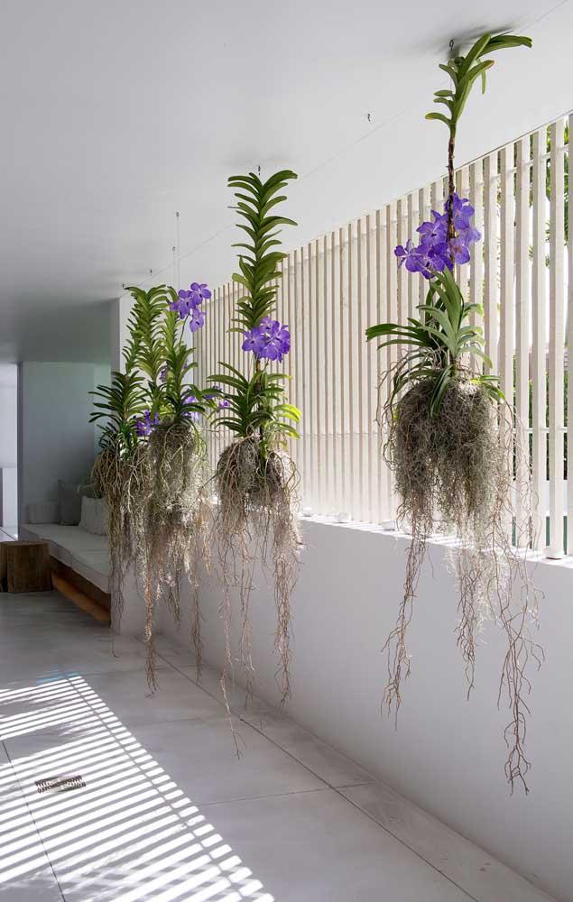 Um corredor para lá de exótico e bonito com as orquídeas Vanda de raízes suspensas