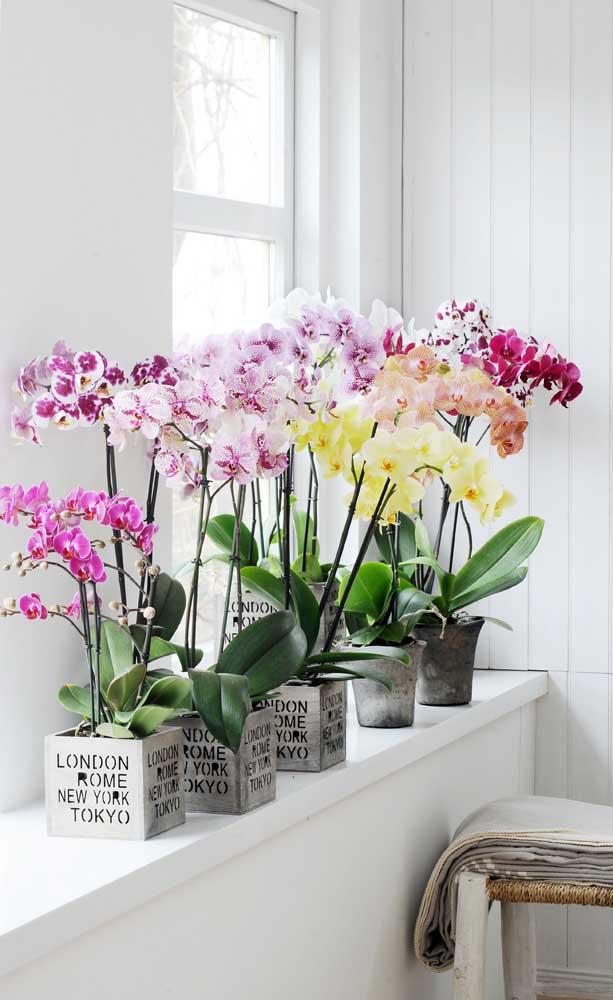 Exposição pessoal de orquídeas Vanda