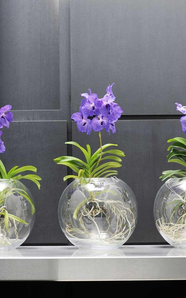 Aqui, a exótica Vanda azul é cultivada dentro do recipiente de vidro