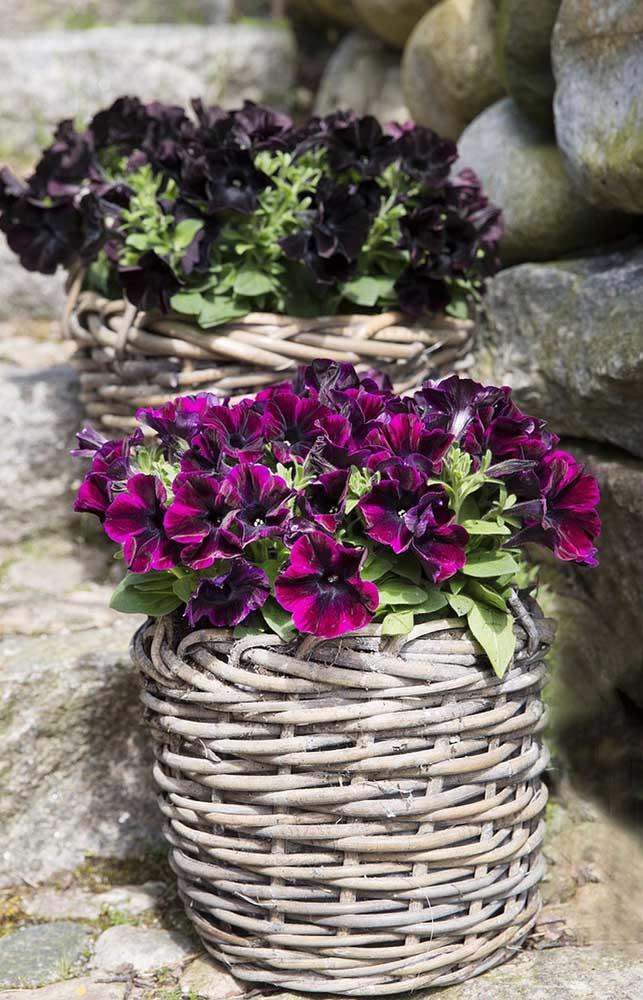 Petúnias de tonalidade mais escura para trazer um ar intimista à decoração
