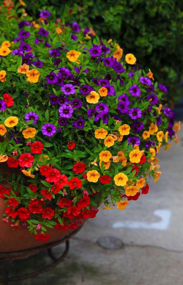 Esse vaso grande de chão recebeu mudas de diversas cores do menor tipo de petúnia, a Milliflora