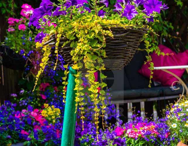 Petúnia: como plantar, dicas essenciais e fotos inspiradoras