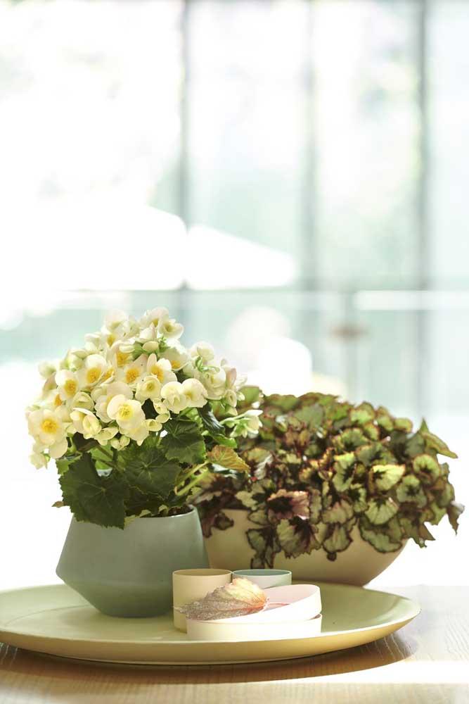 Ao florescer, a Begônia nos presenteia com flores pequenas e delicadas