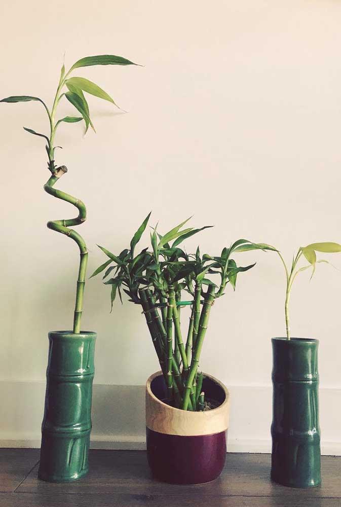 O Bambu da Sorte pode ser cultivado com um, dois, três ou até vinte galhos; segundo os orientais, a quantidade de galhos da planta determina um significado diferente