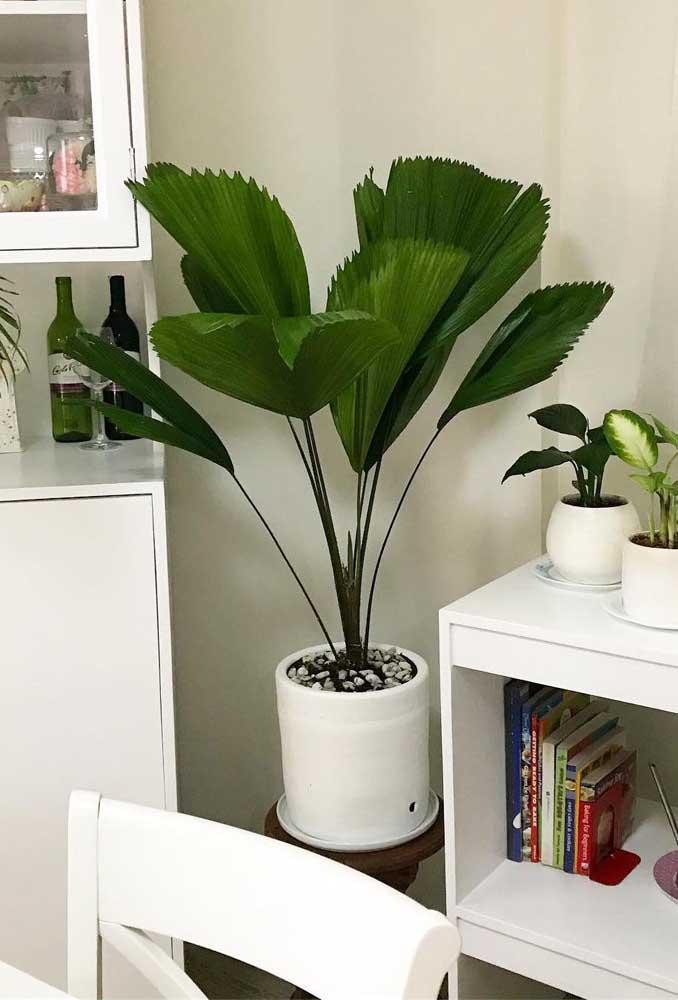 A Palmeira Leque não cresce muito, portanto, não exige vasos grandes
