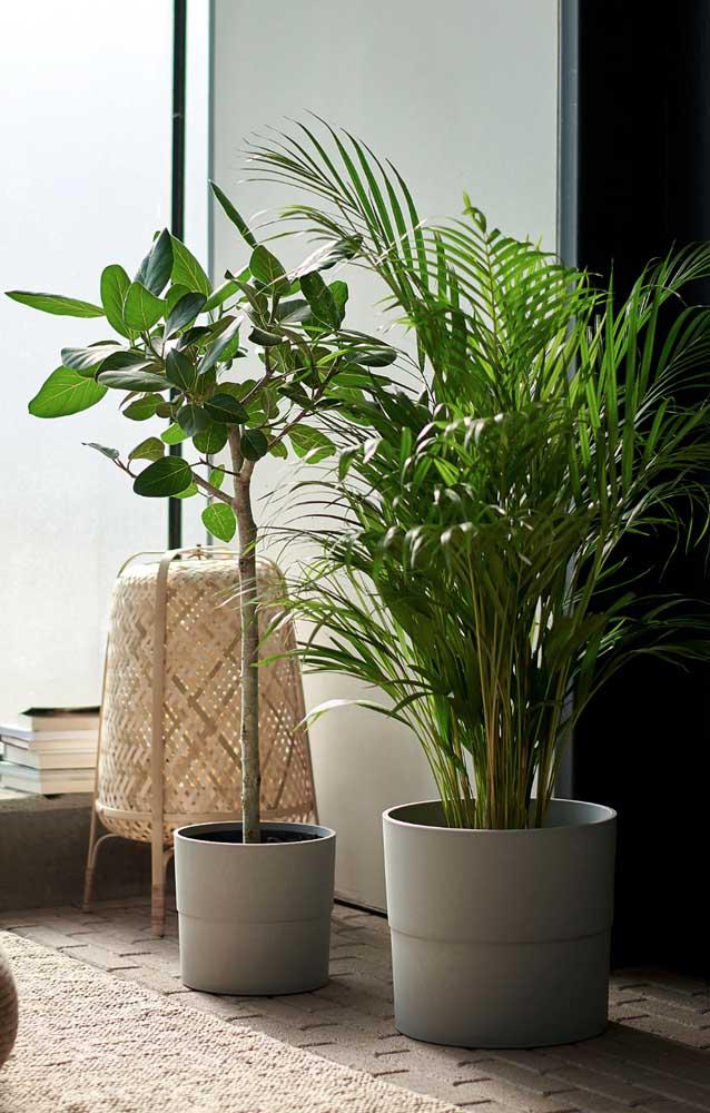Controle o crescimento da Palmeira Areca de acordo com o tamanho do vaso em que ela está plantada