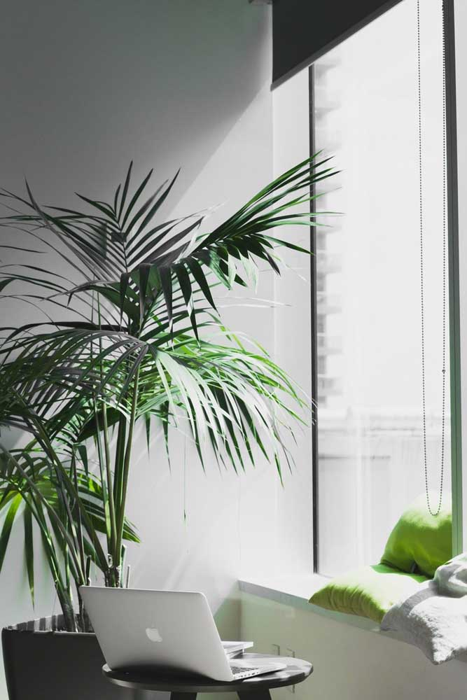 Junto à janela, a Palmeira Ráfia recebe a luz que precisa sem ser exposta diretamente ao sol