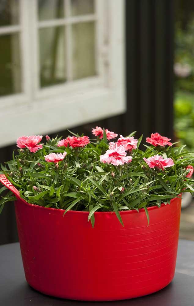 Fácil de plantar e cultivar, a cravina é uma das flores mais lindas e simples que você pode ter aí na sua casa