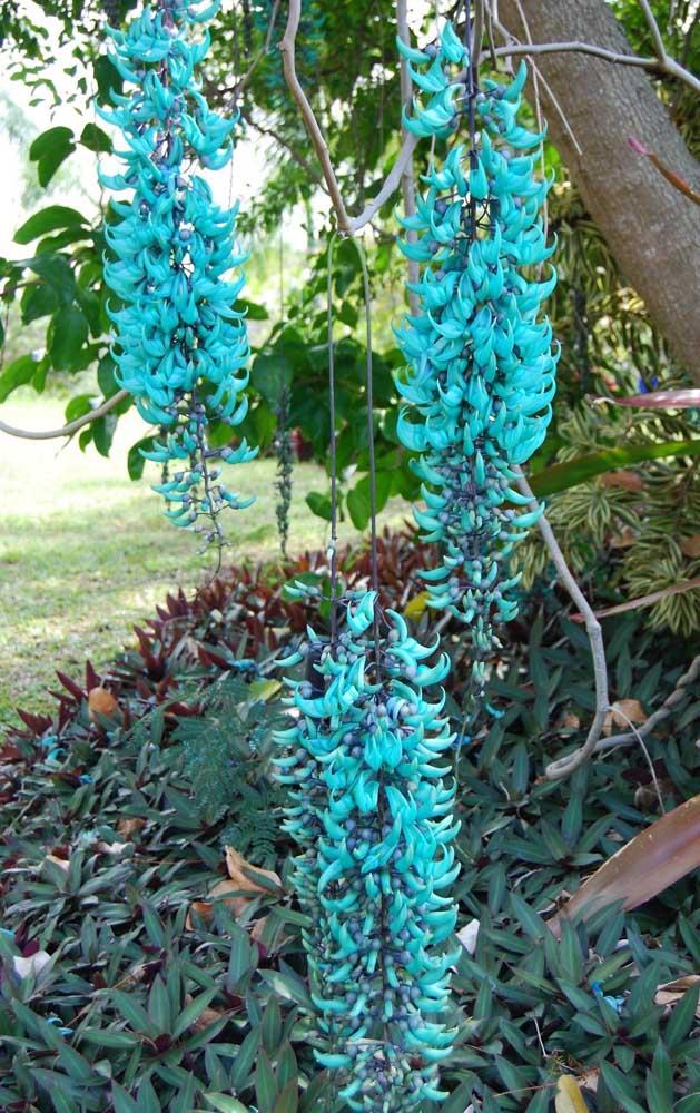 A Jade Vine surpreende e encanta pelas suas lindas flores pendentes em tom de azul turquesa, sendo uma das mais belas opções para forrar pergolados