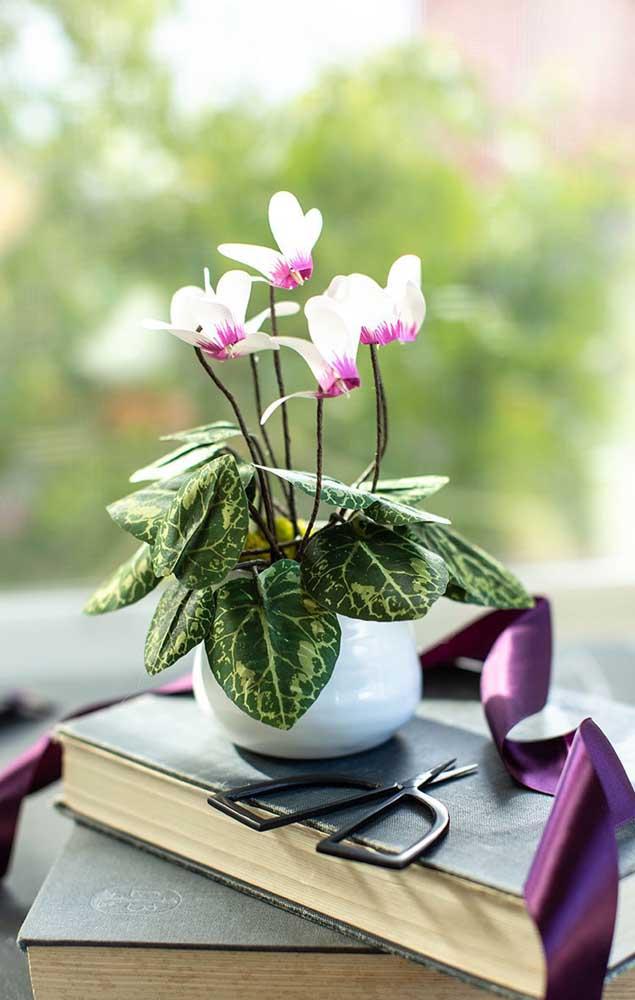 Em busca de uma flor para cultivar dentro de casa? Uma ótima opção é a Ciclame, uma flor linda que aprecia viver protegida do sol