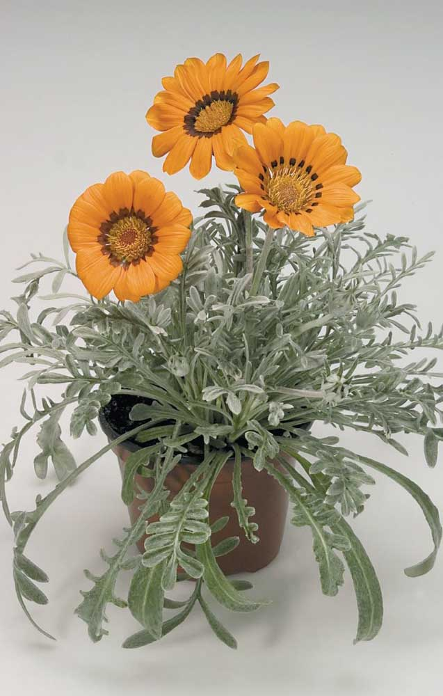 Gosta de flores do campo? Então inclua a rústica e linda Gazânia no seu buquê, ela vai presentear sua decoração com muita cor e alegria