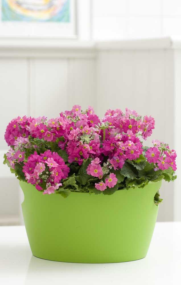 Coloridas e delicadas, as flores da Prímula são muito utilizadas no cultivo doméstico, por serem fáceis de plantar e de manter