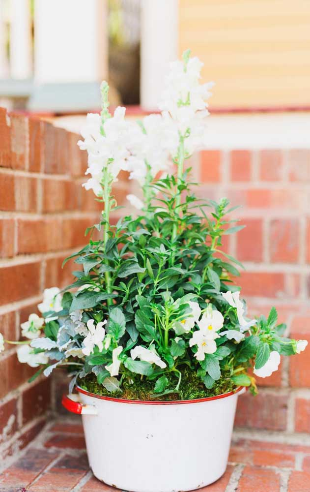 A Alisso, também conhecida como buquê de noiva, se destaca pelas pequenas e numerosas florzinhas brancas em forma de buquê; a espécie ainda é muito perfumada, por isso também acabou sendo chamada de flor de mel