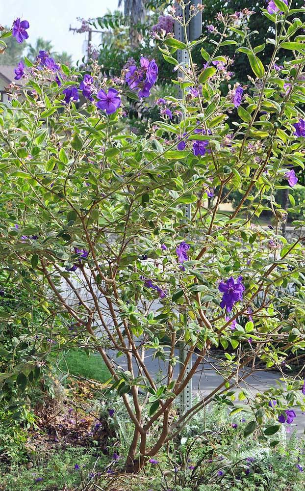 Flores viçosas e delicadas são a marca do Manacá da Serra